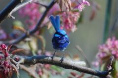 Blue Wren - Birdwatchers heaven