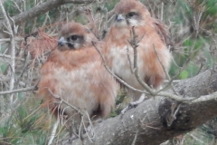Baby Brown Falcons