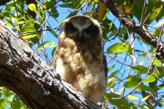 Boobook Owl - Who's watching who?